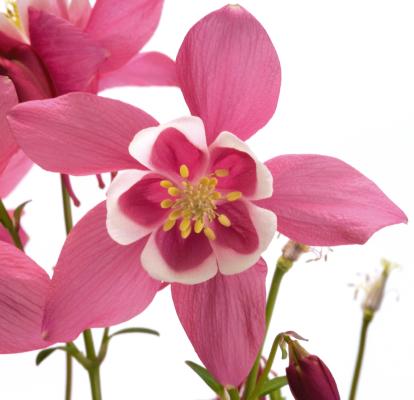 Aquilegia                                       hybrida F₁                                       Spring Magic®                                       Rose & White