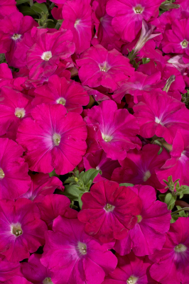 Petunia                                       x hybrida multiflora F₁                                       Celebrity                                       Carmine
