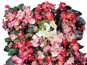 Begonia                                       semperflorens F₁                                       Organdy®