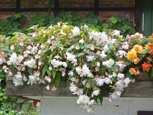Begonia                                       tuberhybrida F₁                                       Illumination®                                       White