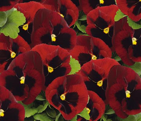 Viola                                       wittrockiana F₁                                       Inspire® DeluXXe                                       Red Blotch