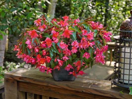 Begonia                                       x hybrida F₁                                       Funky®                                       Pink