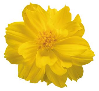 Cosmos                                       sulphureus                                       Limara                                       Lemon