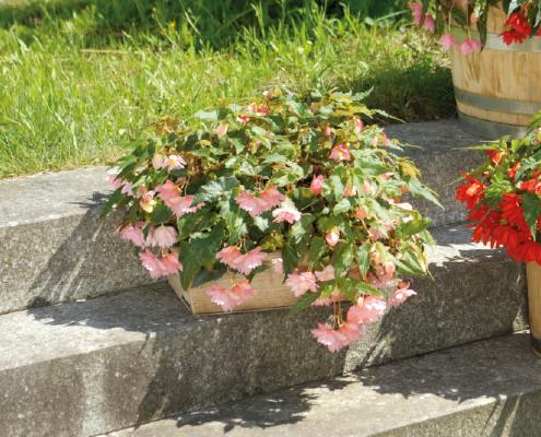 Begonia                                       x hybrida F₁                                       Funky®                                       Light Pink