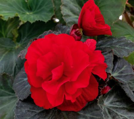 Begonia                                       tuberhybrida F₁                                       Nonstop® Mocca                                       Deep Red