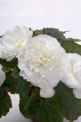 Begonia                                       tuberhybrida F₁                                       Primary                                       White