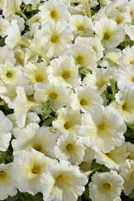 Petunia                                       x hybrida multiflora F₁                                       Celebrity                                       Yellow