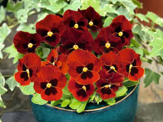 Viola                                       cornuta F₁                                       Admire®                                       Red Blotch