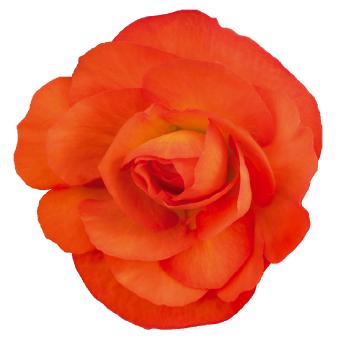 Begonia                                       tuberhybrida F₁                                       Nonstop®                                       Sunset