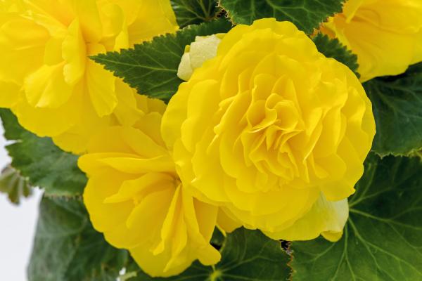 Begonia                                       tuberhybrida F₁                                       Nonstop®                                       Yellow