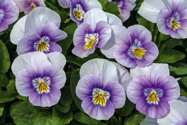 Viola                                       cornuta F₁                                       Admire®                                       Lavender Pink Face