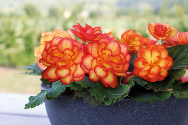 Begonia                                       tuberhybrida F₁                                       Nonstop®                                       Fire