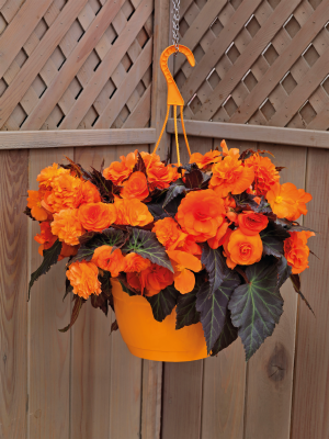 Begonia                                       tuberhybrida F₁                                       Nonstop® Mocca                                       Bright Orange