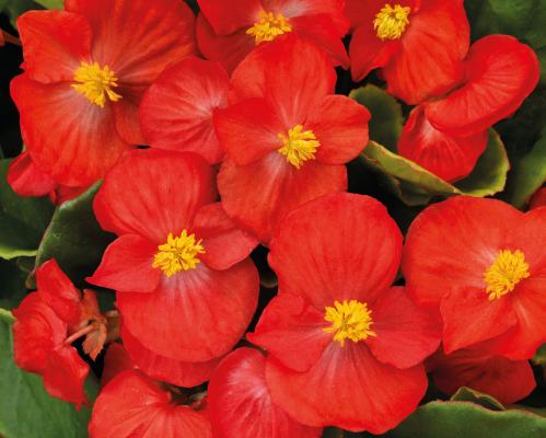 Begonia                                       semperflorens F₁                                       Sprint Plus                                       Red