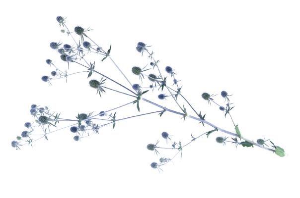 Eryngium                                       planum                                       Glitter                                       Blue