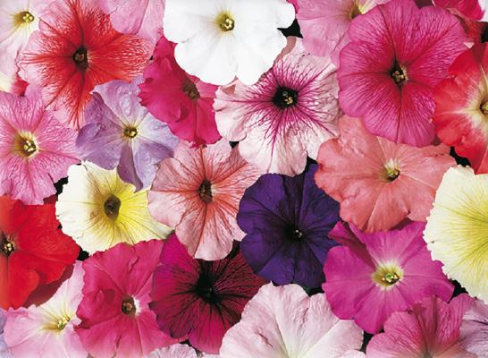 Petunia                                       x hybrida multiflora F₁                                       Celebrity