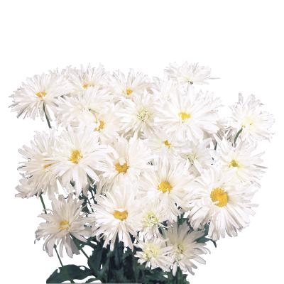Leucanthemum                                       x superbum                                       Crazy Daisy