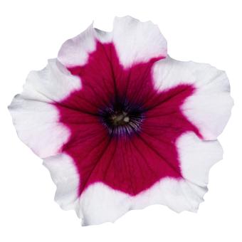Petunia                                       x hybrida multiflora F₁                                       Celebrity                                       Burgundy Frost