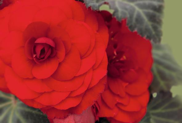 Begonia                                       tuberhybrida F₁                                       Nonstop® Mocca                                       Red