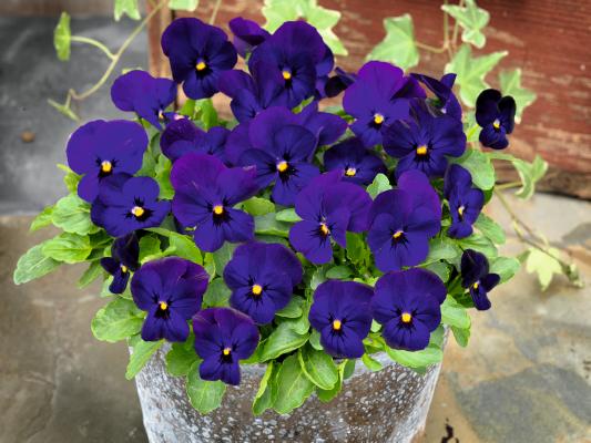 Viola                                       cornuta F₁                                       Admire®                                       Deep Blue