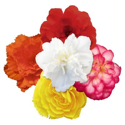 Begonia                                       tuberhybrida F₁                                       Nonstop® Joy                                       Rose Picotee