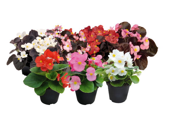 Begonia                                       semperflorens F₁                                       CoolNight                                       Mix