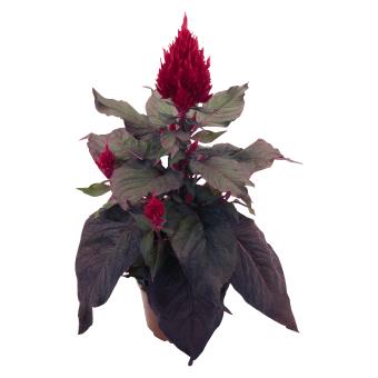 Celosia                                       plumosa                                       Smart Look                                       Red