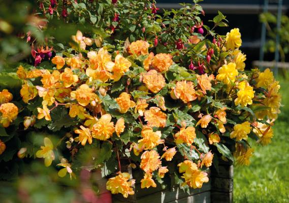 Begonia                                       tuberhybrida F₁                                       Illumination®                                       Apricot Shades