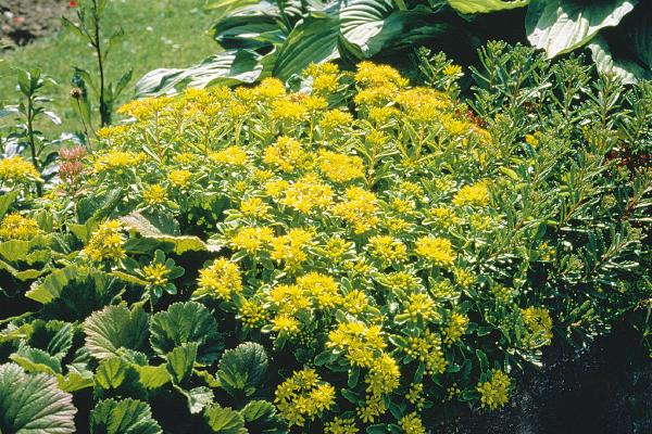 Sedum                                       ellacombianum (selskianum hort.)                                       Spirit