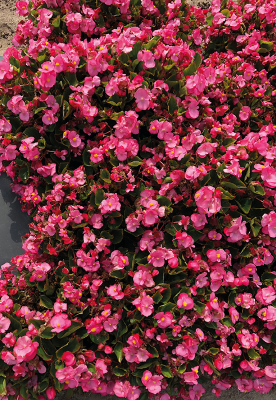 Begonia                                       semperflorens F₁                                       Super Cool                                       Pink