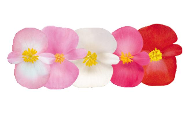 Begonia                                       semperflorens F₁                                       Nightlife                                       Mix