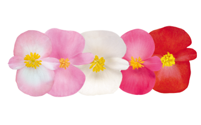 Begonia                                       semperflorens F₁                                       Nightlife