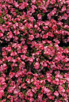 Begonia                                       semperflorens F₁                                       Super Cool                                       Blush