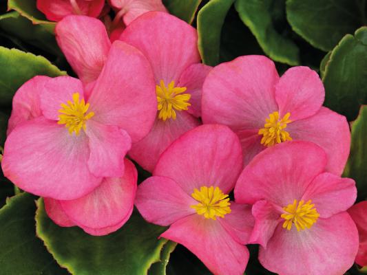 Begonia                                       semperflorens F₁                                       Sprint Plus                                       Rose