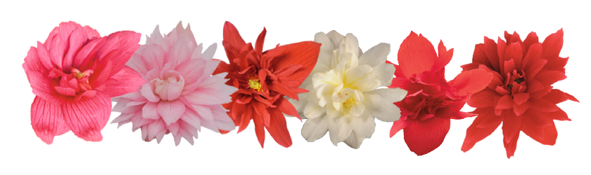 Begonia                                       x hybrida F₁                                       Funky®                                       Mix