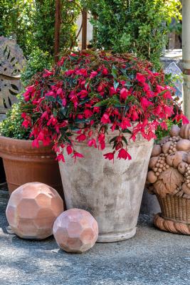 Begonia                                       boliviensis F₁                                       Groovy                                       Rose