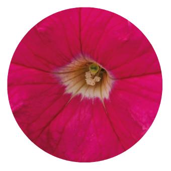Petunia                                       x hybrida grandiflora F₁                                       SUCCESS! 360°                                       Deep Pink