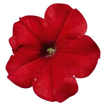 Petunia                                       x hybrida multiflora F₁                                       Celebrity                                       Red