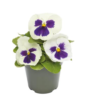 Viola                                       wittrockiana F₁                                       Inspire® DeluXXe                                       White Blotch
