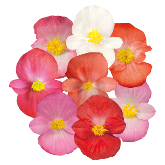 Begonia                                       semperflorens F₁                                       Sprint Plus                                       Maxi Mix