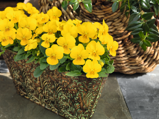 Viola                                       cornuta F₁                                       Admire®                                       Yellow