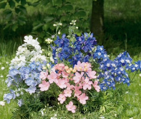 Delphinium                                       grandiflorum                                       Summer                                       Colors