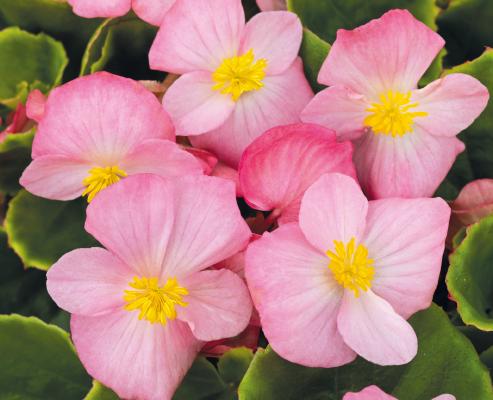 Begonia                                       semperflorens F₁                                       Sprint Plus                                       Pink