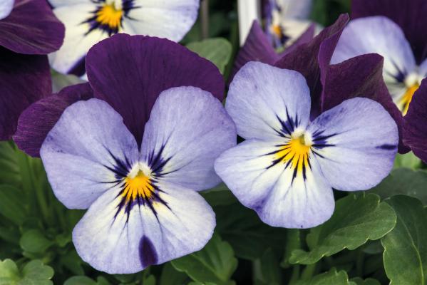 Viola                                       cornuta F₁                                       Admire®                                       Neon Purple Wing