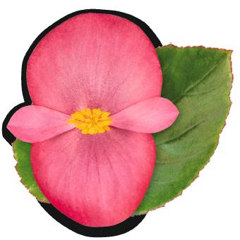 Begonia                                       x benariensis F₁                                       BIG                                       Rose Green Leaf