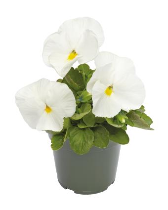 Viola                                       wittrockiana F₁                                       Inspire® DeluXXe                                       White