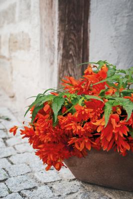 Begonia                                       x hybrida F₁                                       Funky®                                       Orange