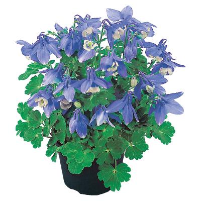 Aquilegia                                       flabellata F₁                                       Cameo                                       Blue & White