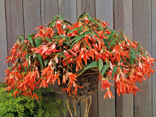 Begonia                                       boliviensis F₁                                       Sun Cities Collection                                       San Francisco