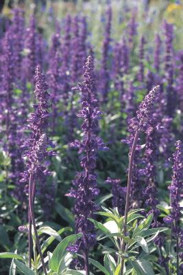 Salvia                                       farinacea                                       Evolution®                                       Violet